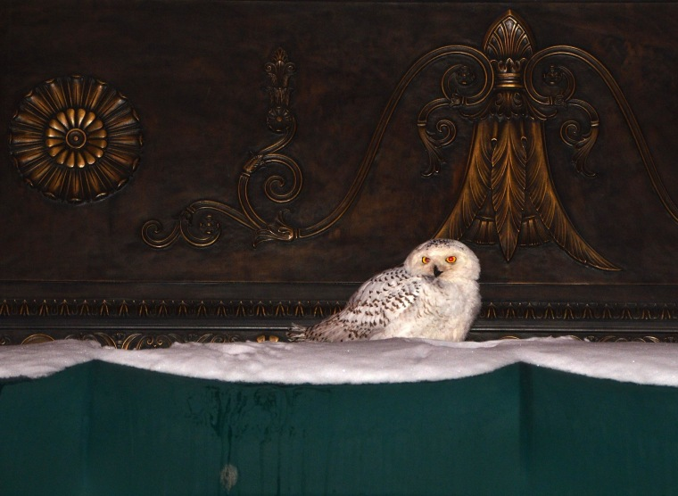 Image: A snowy owl sits on the awning of an office building in downtown Washington, DC.