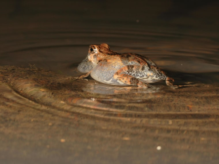 Ripples on the water made by the tungara frog's mating call are a dead giveaway for preying bats.