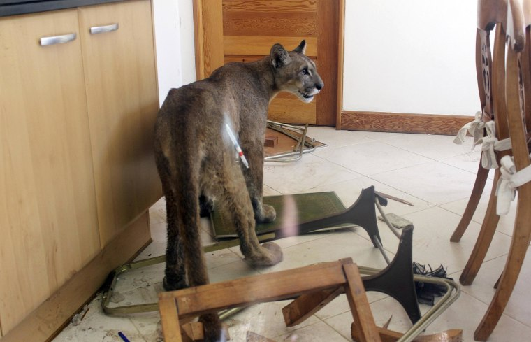 Image: A puma is seen inside the kitchen of a residential home in Santiago