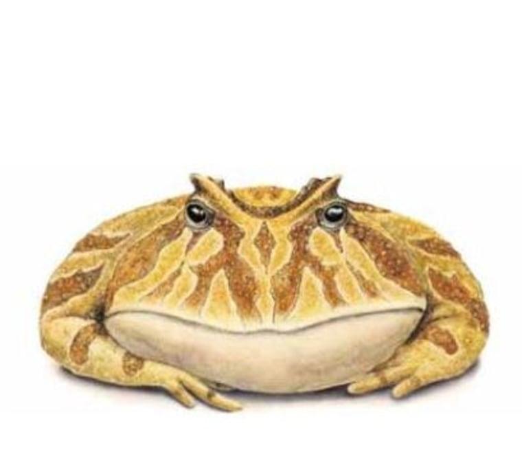 Image: Devil frog