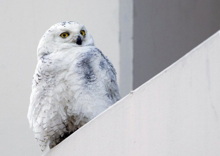 Image: A female snowy owl rests on a ledge of a building in Washington, D.C.