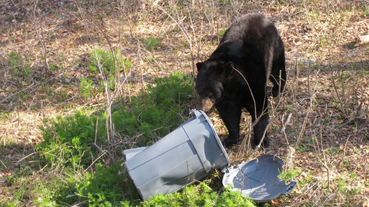 Image: A bear digs through a garbage can in Florida in 2008.
