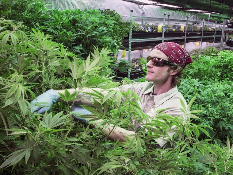 Image: Workers tend the grow houses at the Medicine Man marijuana dispensary in Denver