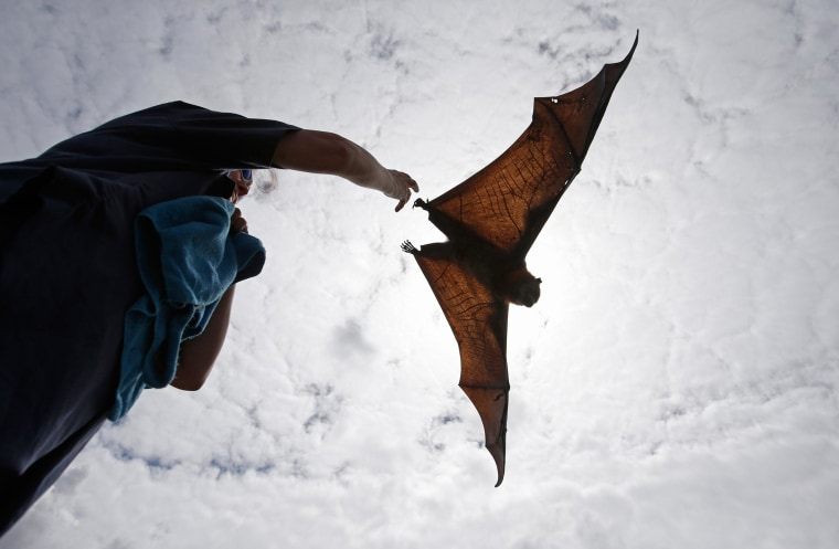 A wildlife carer releases a Grey Headed Flying Fox in Centennial Park in Sydney, Australia, Wednesday, Feb. 5, 2014. Each year thousands of native wildlife are rescued by volunteers when anti bird netting thrown loosely over fruit trees entangles birds, bats, and reptiles. The Grey Headed Flying Fox is classified as Vulnerable to extinction by the NSW Department of Environment & Heritage.