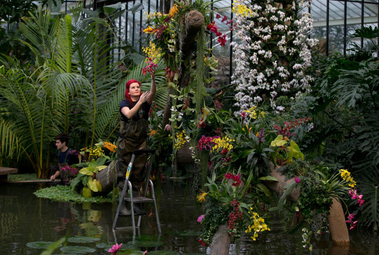 Ellie a horticulturist at Kew stands on a step ladder as she makes final adjustments during a media pre-view of an Orchid festival at Kew Botanical Gardens in London,Thursday, Feb. 6, 2014. The  exhibition of orchids is open to the public from Feb. 8 to March 9, 2014, and it includes a new new Phalaenopsis hybrid 'Diamond Sky' that has not ben seen before. (AP Photo/Alastair Grant)