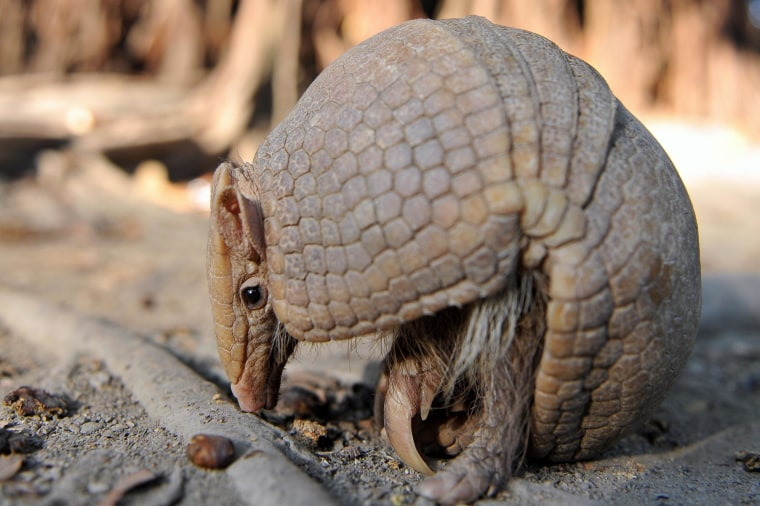 A 9,000-year-old Recipe For Roast Armadillo