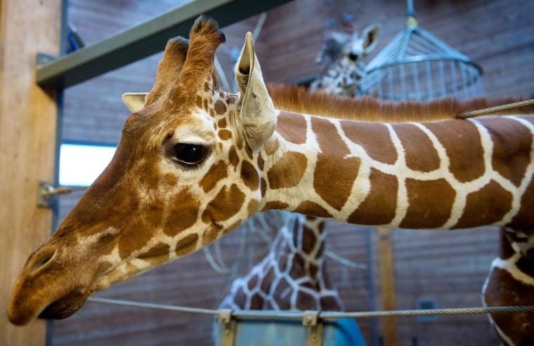 Image: Copenhagen Zoo's giraffe Marius, who was killed on Sunday