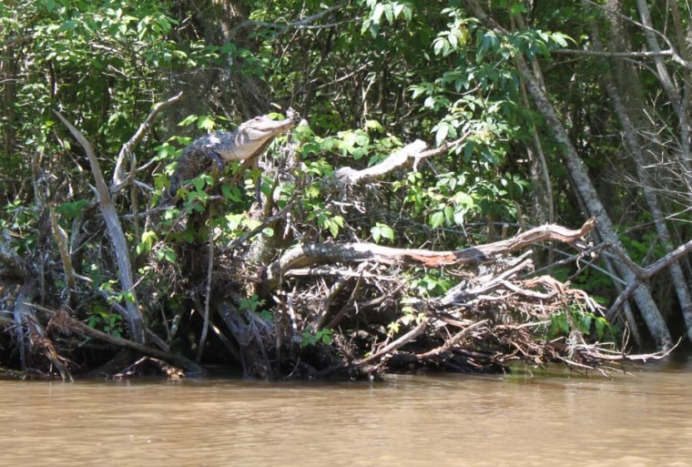 An American alligator basking in a tree in in Pearl River Delta, Mississippi.