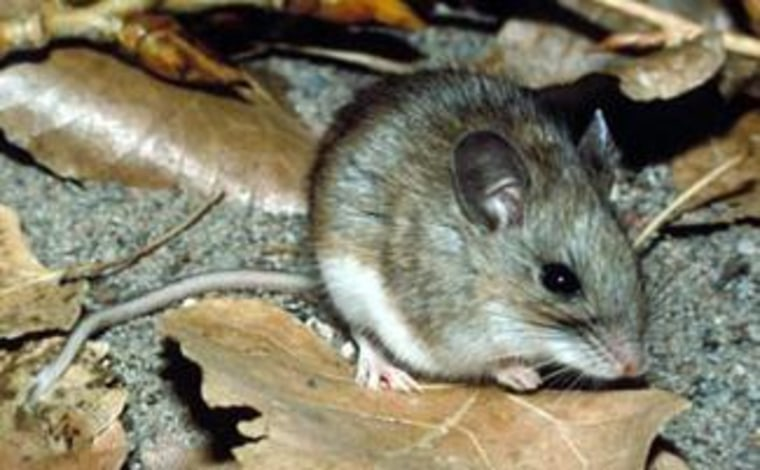 A new vaccine would protect mice against Lyme disease