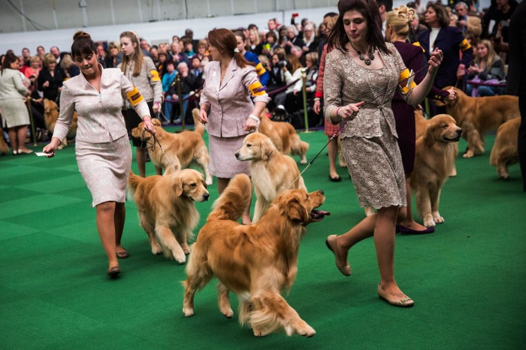 Image: Golden retrievers compete during the Westminster Dog Show