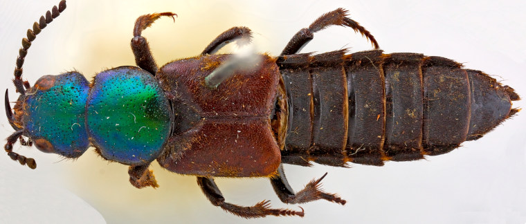 The beetle now known as Darwinilus sedarisi was collected by Charles Darwin in Argentina back in 1832, during his HMS Beagle voyage, but was considered lost at the Natural History Museum in London.