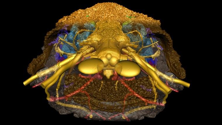 Image: Romundina skull