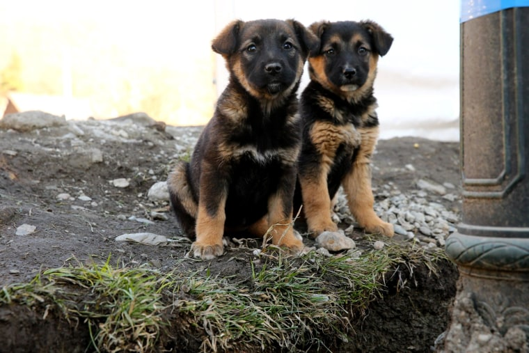 Image: Two stray dog puppies sit outside the Gorki Media Center