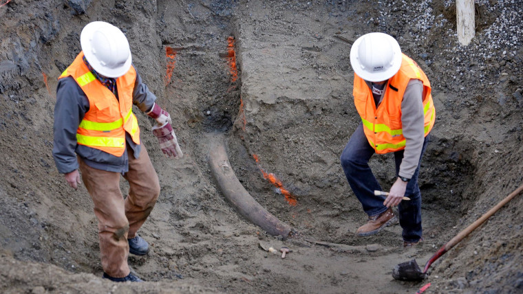 Mammoth Find: 8.5-Foot Tusk At Seattle Construction Site Ready to Move