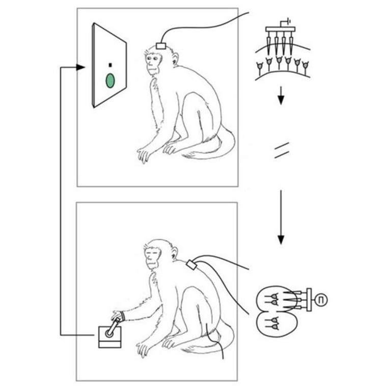A schematic of the experimental setup in which brain activity from one monkey was used to control the hand of another, sedated monkey.