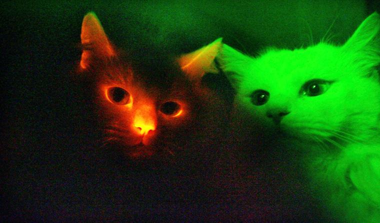 Image: Cats under UV light