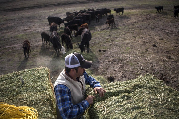 Image: Ranch hand Ricardo Madrigal feeds cattle on the Van Vleck Ranch in Rancho Murieta.