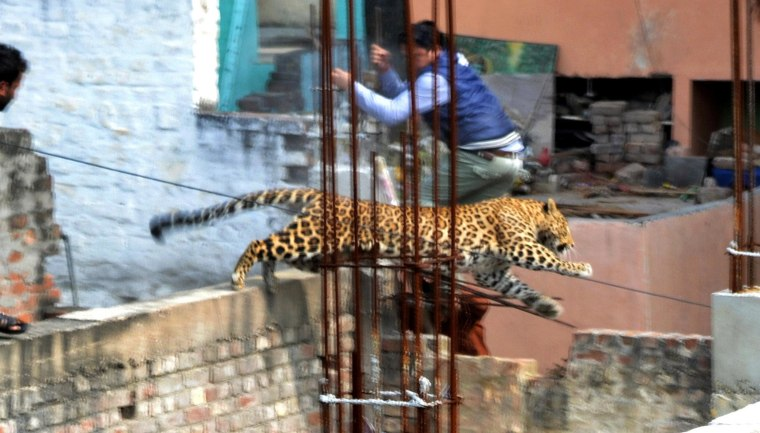 Image: A leopard sparked panic in a north Indian city when it strayed inside a hospital, a cinema and an apartment block before evading captors, an official said.