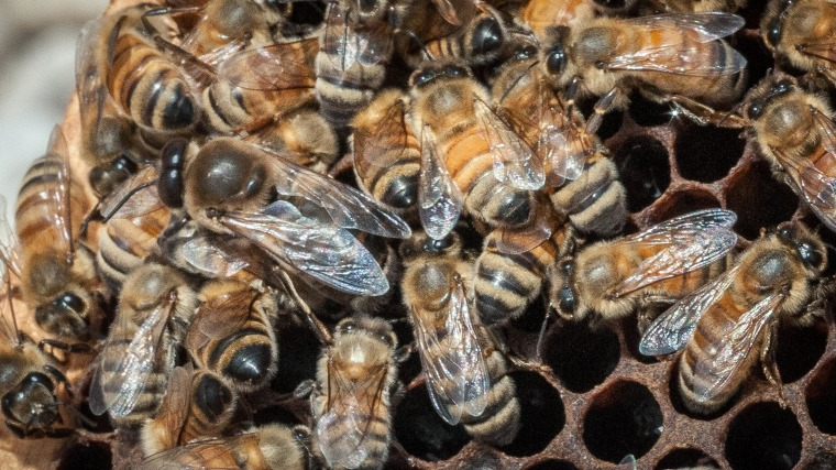The USDA hopes to help honeybees by providing $3 million to farmers and ranchers in five states to improve their pastures. It turns out that dairy cows and bees like many of the same plants.
