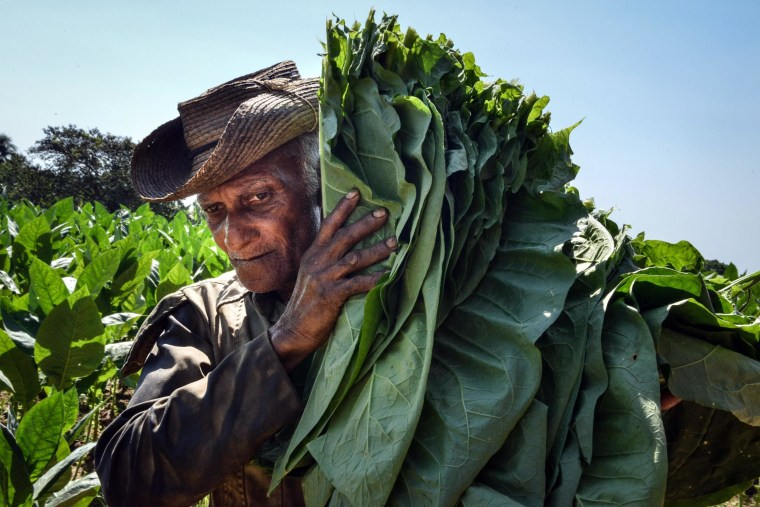 Cuban workers harvest tobacco leaves.
