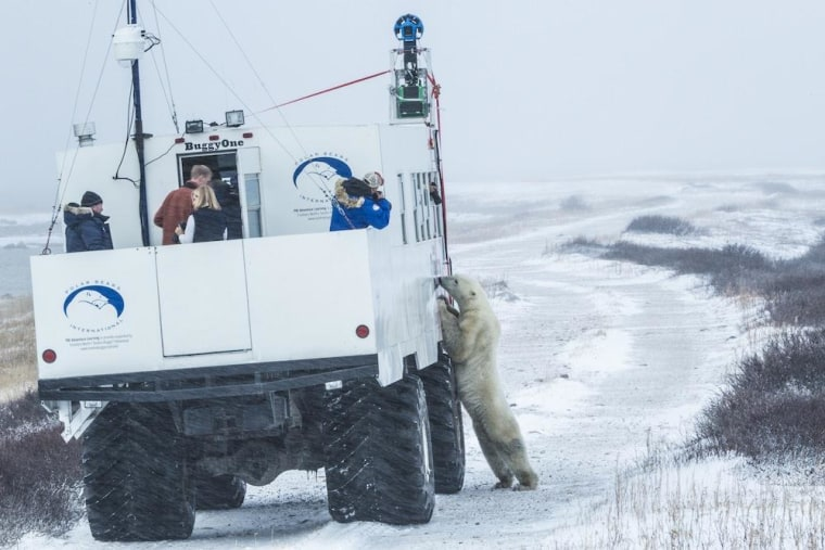 """Image: \""""Buggy love\"""": A polar bear checks out the Google Street View tundra buggy."""
