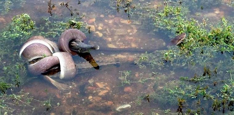 Image: snake battles and eats crocodile