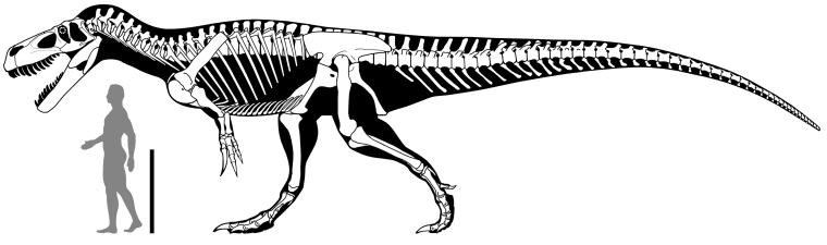 A skeleton reconstruction of T. gurneyi.