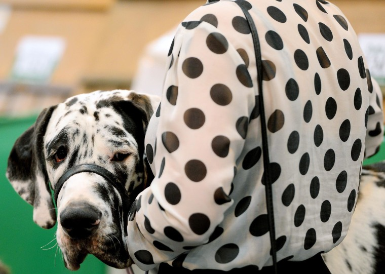 Image: A dog owner carries her dog  during the first day of Crufts