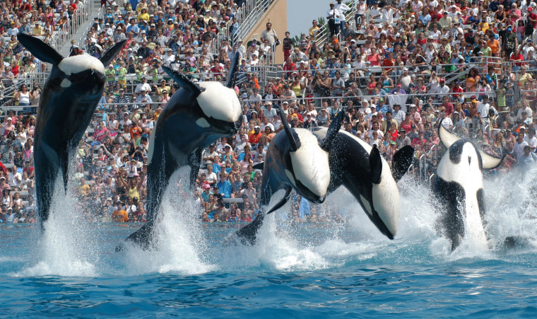 "In this Feb. 27, 2006 photo provided by SeaWorld in San Diego, Calif., killer whales perform in ""Believe,"" the new Shamu show which will explore the connection between humans and killer whales."