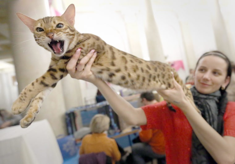A woman displays her Leopard cat during a cat exhibition in Minsk, Belarus on March 8.