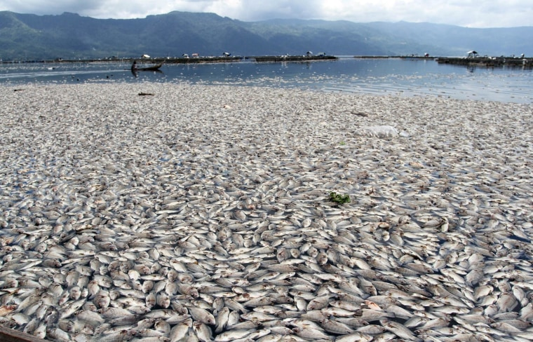 Dead fish are seen floating on the water in Maninjau lake, West Sumatra province in Indonesia on Tuesday. The massive death of the fish population is apparently caused by a sudden change in weather conditions, according to fishery officials.
