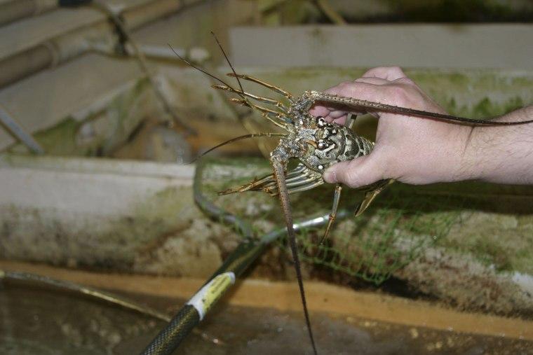 Image: Florida spiny lobster