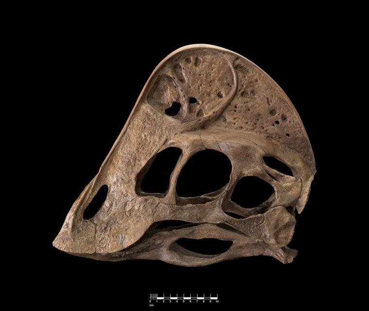Image: A. wyliei skull