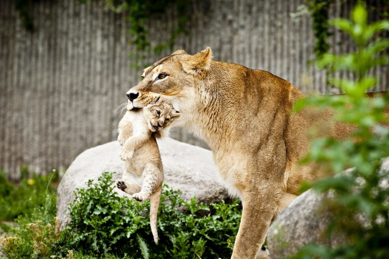 Image: A lioness carries one of her two lion cubs