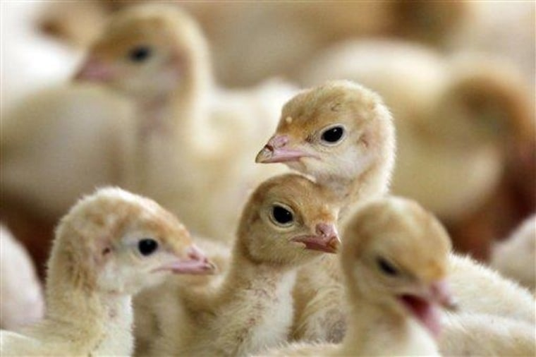 Poults raised without the use of antibiotics are seen at David Martin's turkey farm in Lebanon, Pa.