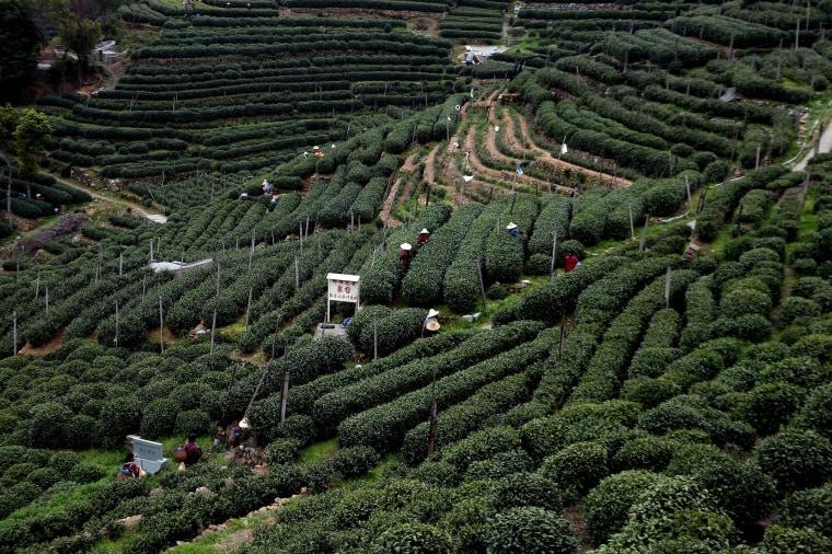 Image: Season Of Longjing Tea-Picking In Hangzhou