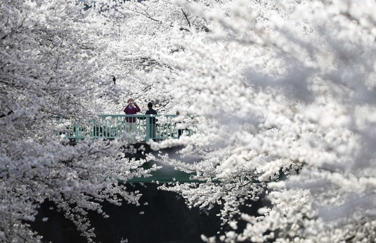 A man takes a picture of a woman with cherry blossoms in full bloom in Tokyo on March 31, 2014.