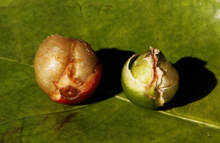 Image: A fully formed coffee berry is pictured next to a damaged berry due to drought, in a coffee farm in Santo Antonio do Jardim