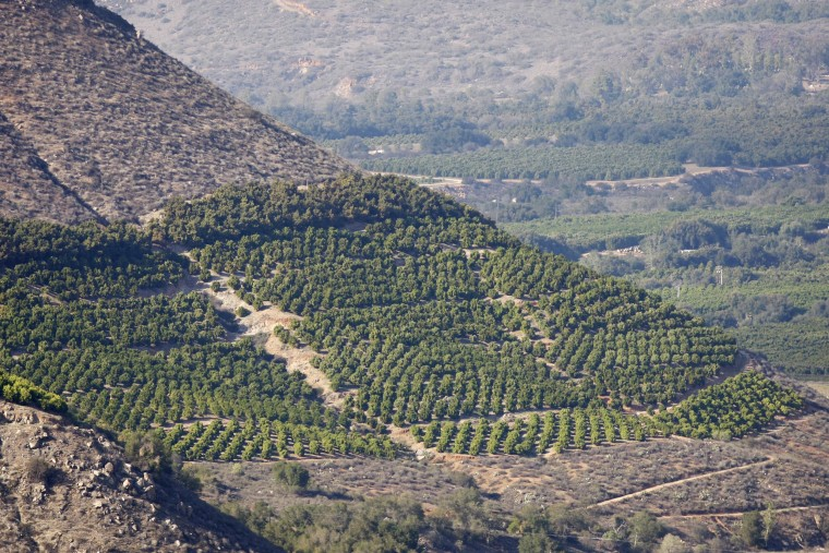 Image:  Avocado trees grow on steep hillsides at a farm in Pauma Valley