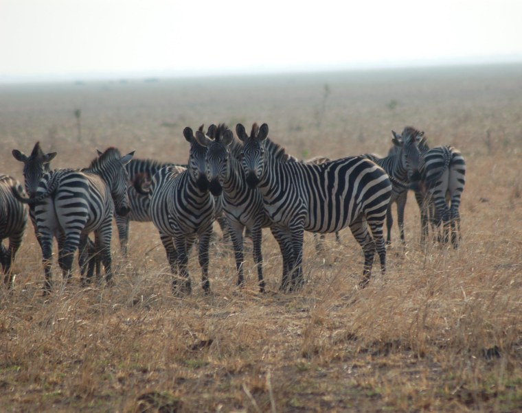 Why Do Zebras Have Stripes? Mystery Solved, Scientists Say