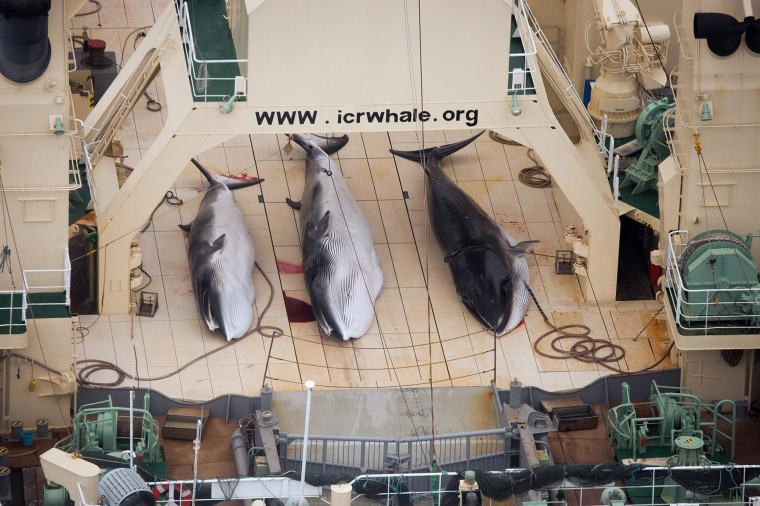 A  handout image dated Jan. 5, 2013 and made available by Sea Shepherd Australia, shows three dead, protected Minke Whales on the deck of the Japanese Ship, Nisshin Maru in the Southern Ocean, Antarctica.