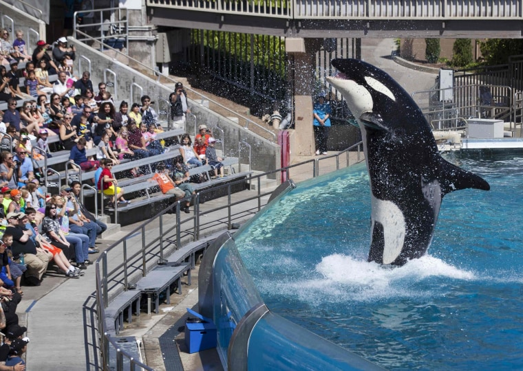 Image: Visitors are greeted by an Orca killer whale as they attend a show featuring the whales during a visit to the animal theme park SeaWorld in San Diego, California