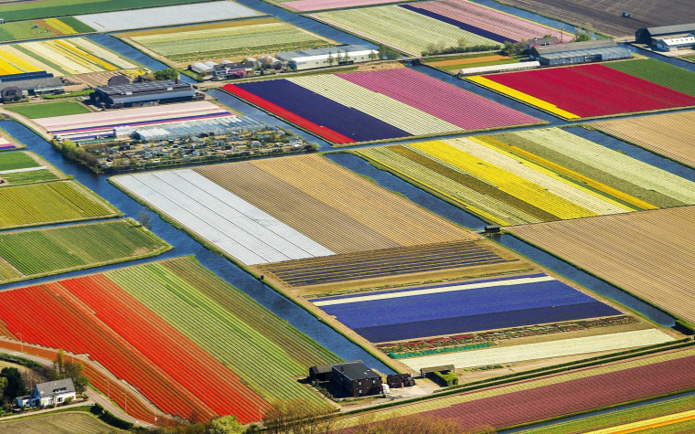Tulip fields in Lisse, the Netherlands, give the landscape the appearance of a patchwork quilt.