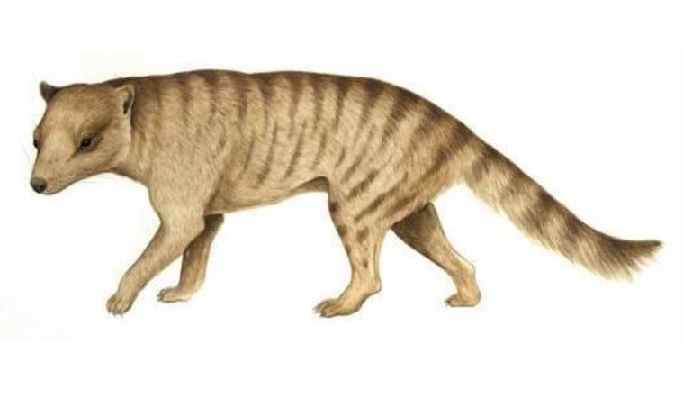 Image: Marsupial carnivore