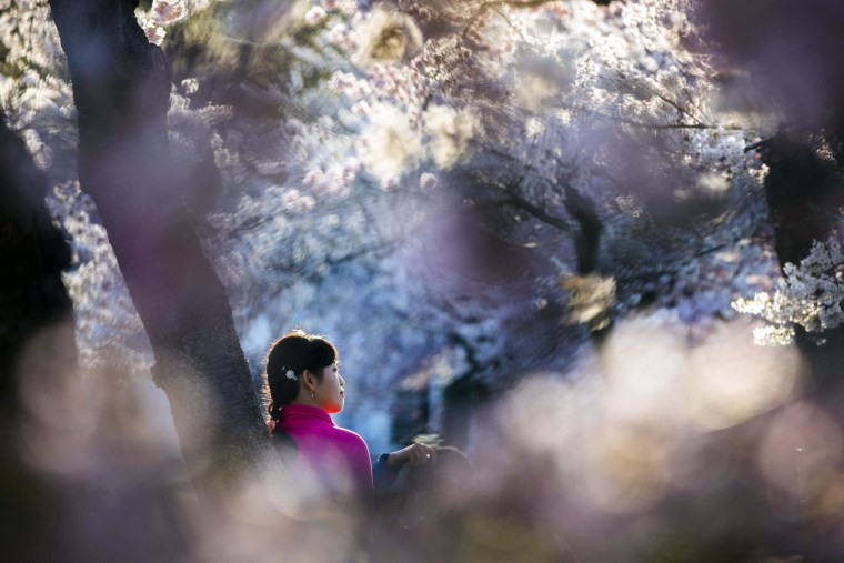 Image: Cherry Blossoms Bloom in Washington, DC