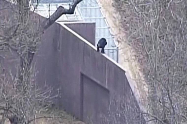 Image: A chimp was on the loose at the Kansas City, Mo., zoo.