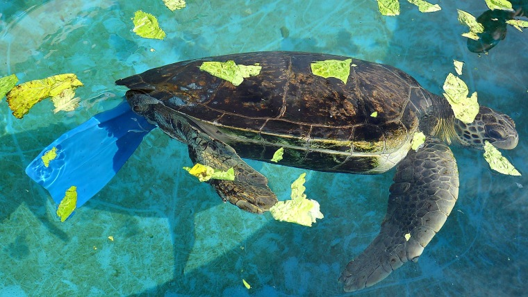 Freedom, an endangered Green turtle, swimming with the aid of a diver's fin, the first attempt Israel's Turtle Rescue Center made at giving him a prosthetic. It didn't work.