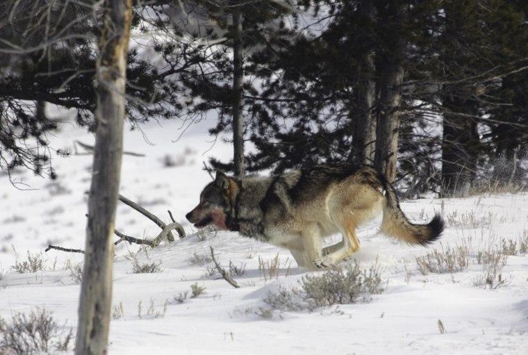 Image: Gray wolf