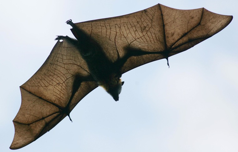 Image: A Grey-Headed Flying Fox flies through the air