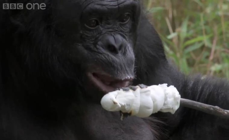 Kanzi tastes the sweet fruits of her labors.